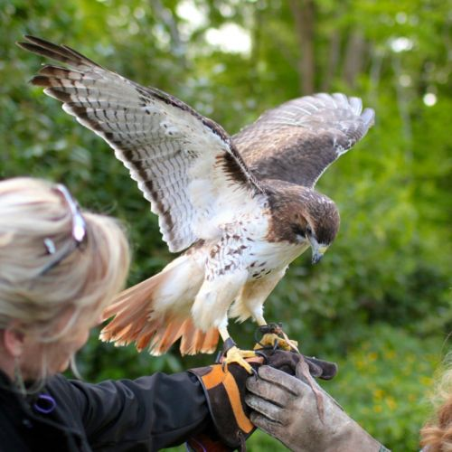 Falconry in Longueville