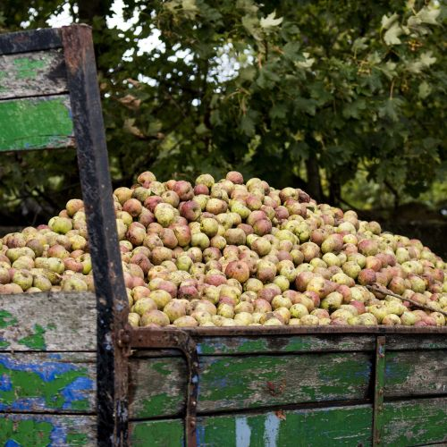 Apple Harvest at Longueville House